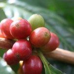 The Ka`u Coffee Festival kicks off April 26.