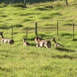 Lana'i Axis Deer Hunt Canceled Due to COVID-19 Risks