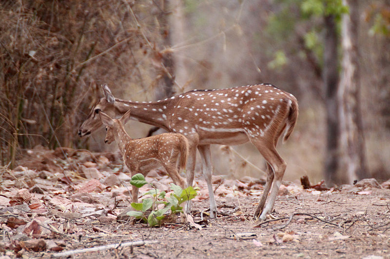 Axis Deer_Wikimedia Commons, courtesy