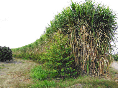 Likely feedstock prospects include napier grass, also known as elephant grass. University of Florida photo.