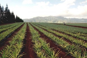 Pineapple growers are facing immense low-wage competition. Image courtesy UC Davis.