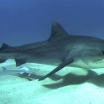 Hawai'i DLNR: Tiger Shark Ruled Out in Attack at A-Bay