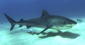 Unconfirmed reports said a tiger shark was involved in the attack. An example of a juvenile tiger shark is shown above. Wikimedia image.