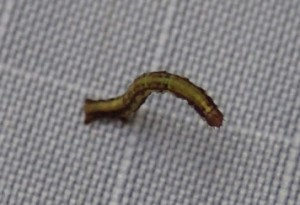 It's a little larva with a big appetite: The koa looper is eating its way through forests in Hilo and Hamakua. Photo by William Haines, CTAHR.