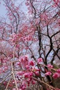 Sakura blossoms, photo by Aaron Hamasaki