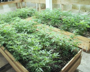 Younger marijuana plants found in the bunker. HPD photo.