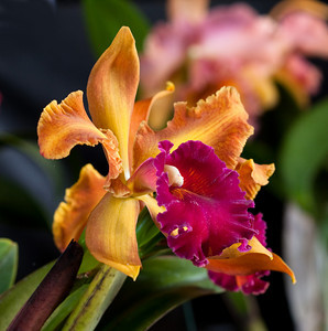 The Kona Orchid Society is holding a show this Friday and Saturday at the Old Airport pavilion. Photo by Ben Gaddis.