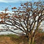 A wiliwili tree. USGS photo.