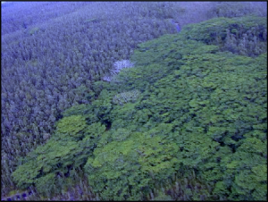 Albizia trees threaten to overtake native forests. image courtesy HISC.