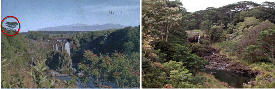 """A before and after image shows how Albizia trees have affected the area known as """"boiling pots"""" over the last few decades. Image courtesy HISC."""