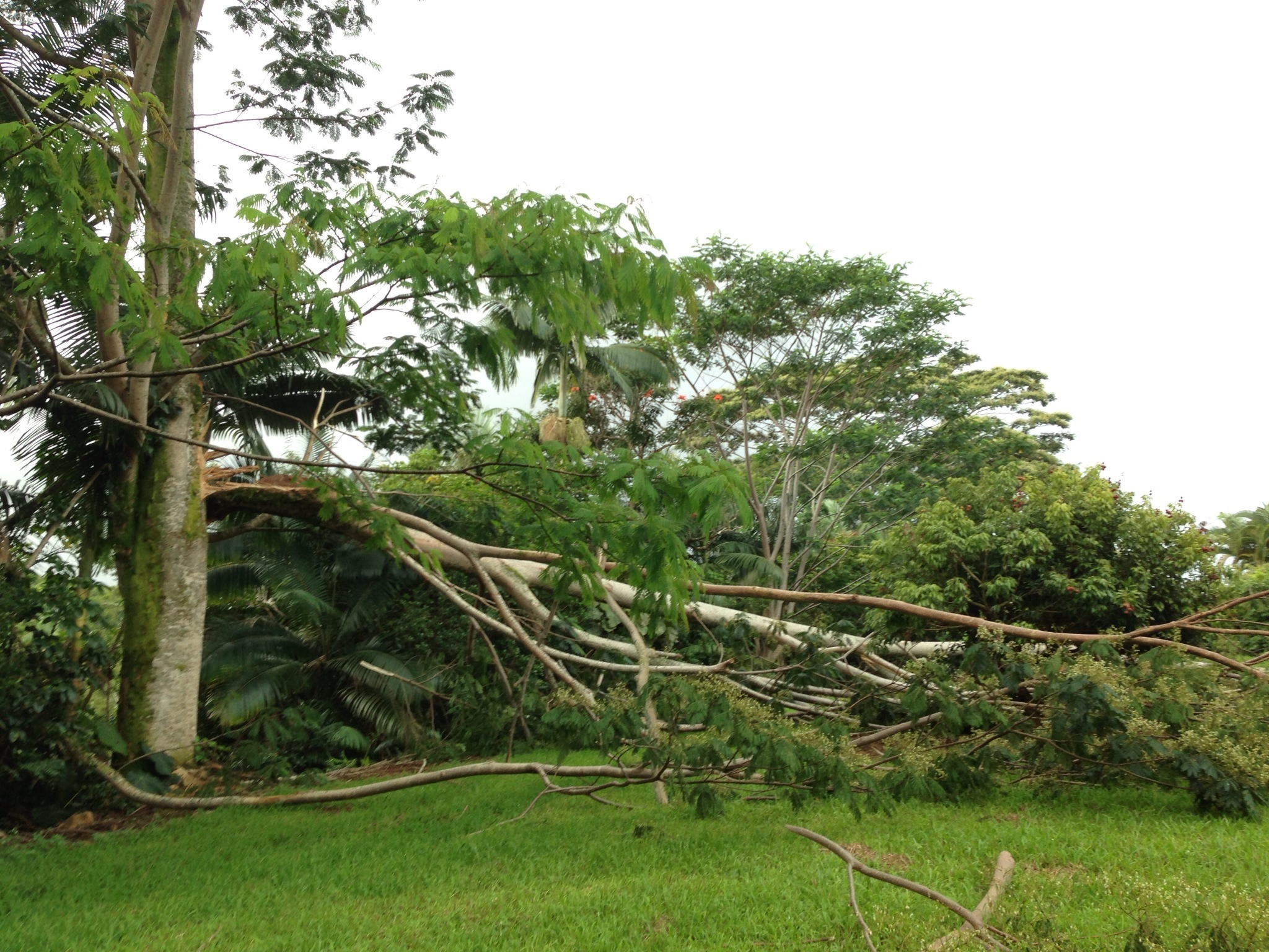 State Lawmaker Also Targets 'Tree That Ate Puna'