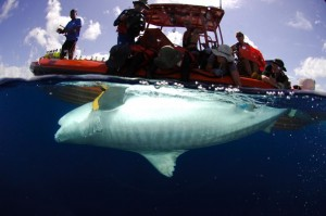 Researchers tag a captured tiger shark for study. UH image.