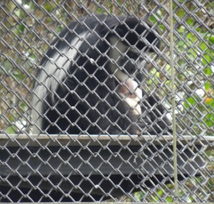 Mindy, the Panaewa Zoo's female colobus monkey, tends to her newborn. Courtesy photo.
