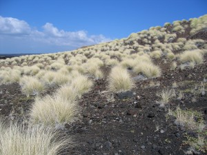 Highly flammable fountain grass is shown dominating this slope in Ka`u. NPS image.