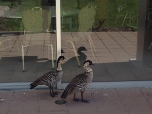 A pair of Nene geese stare into an empty dining room. Photo by Nate Gaddis.