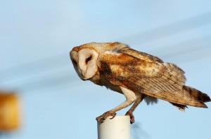 The barn owl, aka tyto alba.