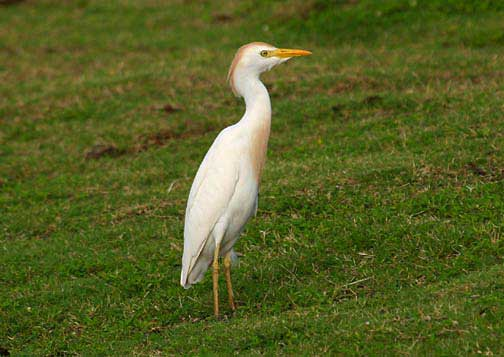 Letter Hawaiis Final Solution For Egrets And Owls Big Island Now