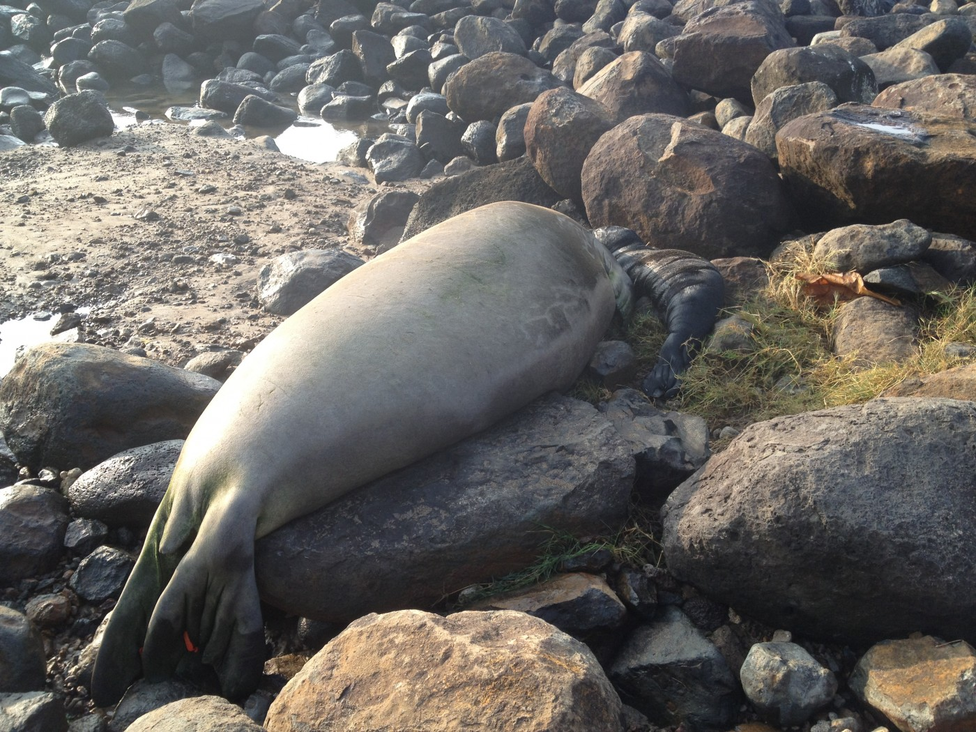 UPDATE: Monk Seal Pup a Second-Generation Big Islander