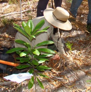 A previous Friends of Hawai`i Volcanoes Park reforestation project. Photo by Carol Johnson/FHVNP.