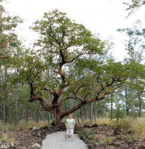 The wiliwili tree is another national Big Tree champion. It is located in the gated Pu`u Lani Ranch subdivision in Pu`uanahulu. DLNR photo.
