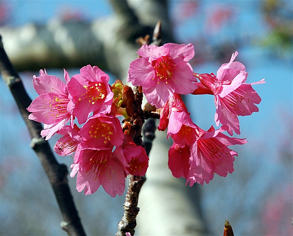 cherry-blossom-gavelek