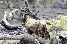 Feral sheep like the one shown above, and feral-mouflon hybrids, are the targets of an eradication effort designed to protect the habitat of the endangered palila. NPS file photo.