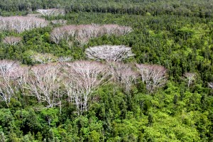 Albizia trees are shown dead and dying after being treated with herbicide. BIISC photo.