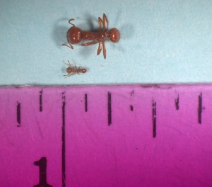 This Hawaii Department of Agriculture photo shows a comparison of the size of the little fire ant, which measures just 1/16 of an inch, to the bigger tropical fire ant.