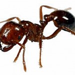 Hawai'i Ant Lab Extension Office Opens in West Hawai'i