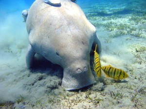 A dugong feeding on seagrass. Photo by Julien Willem/Wikimedia.