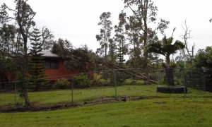 Winds brought this tree down on a house off Kalilo Drive in Hilo. Photo by Ilene Alford.