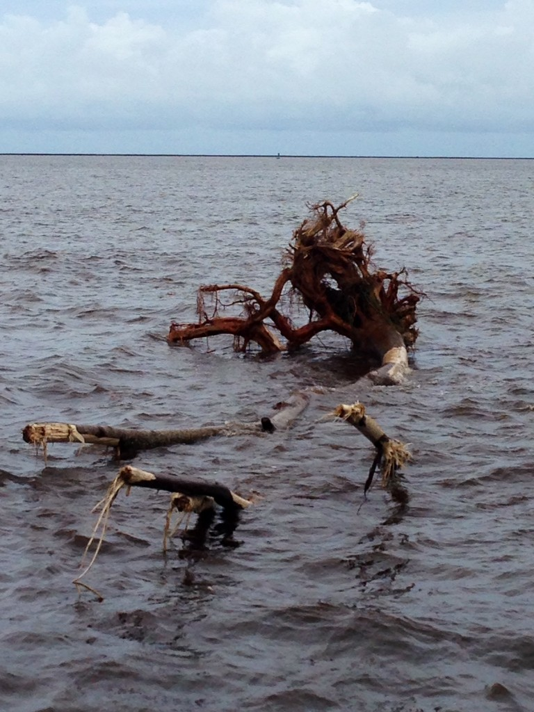 An uprooted tree floats lifeless in Hilo Bay. Photo by Nate Gaddis.