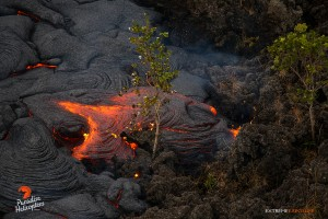 In this photo taken on Feb. 9, a toe of pahoehoe consumes ohia saplings established on an old 'a'a flow about a mile downslope of Pu'u 'O'o. Photo credit: Extreme Exposure Media/Paradise Helicopters.