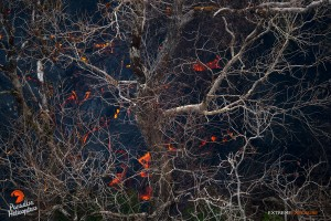This photo, taken March 26, shows the barren, sunlight bleached branches of ohia trees, contrast starkly with oranges and blacks of the active flow beneath. Photo credit: Extreme Exposure Media/Paradise Helicopters.