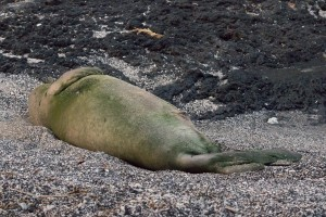 Hawaiian Monk Seal, B-18. Photo credit: Julie Steelman.