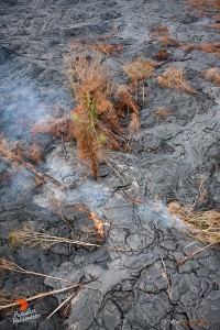 In this photo, taken on May 6,  a breakout surrounds trees, eventually toppling them as their trunks get charred from the lava's heat. Photo credit: Extreme Exposure Media/Paradise Helicopters.