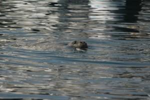 Hawaiian Monk Seal, B-18. Photo credit: Julie Steelman.