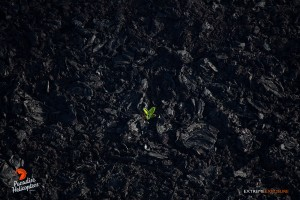 2015 06 25 - Puna, Hawaii:  A lone 'ama'u fern (Sadleria cyatheoides), is the first sign of life on this old 'a'a flow on the eastern flank of Pu'u 'O'o crater.  Photo: Extreme Exposure Media/Paradise Helicopters