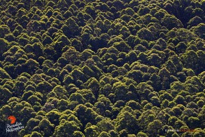 2015 06 25 - Puna, Hawaii:  The early morning sunlight illuminates the tops of tall eucalyptus trees in the Waiakea Forest Reserve.  Photo: Extreme Exposure Media/Paradise Helicopters