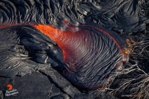July 16:   A toe of lava consumes a fallen tree.  Photo: Extreme Exposure Media/Paradise Helicopters.