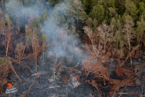 July 23:   Lava creeps into the bordering forest along the northern perimeter, roughly 2 miles from Pu'u 'O'o.  Photo: Extreme Exposure Media/Paradise Helicopters.