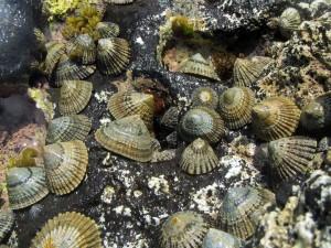 'Opihi are abundant along the shoreline of Nihoa in Papahānaumokuāke Marine National Monument. Credit: Hoku Johnson/NOAA.
