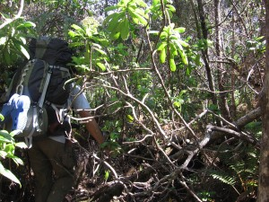An HVO field geologist must make his way through dense forest to map the full extent of an old Mauna Loa lava flow. USGS photo.