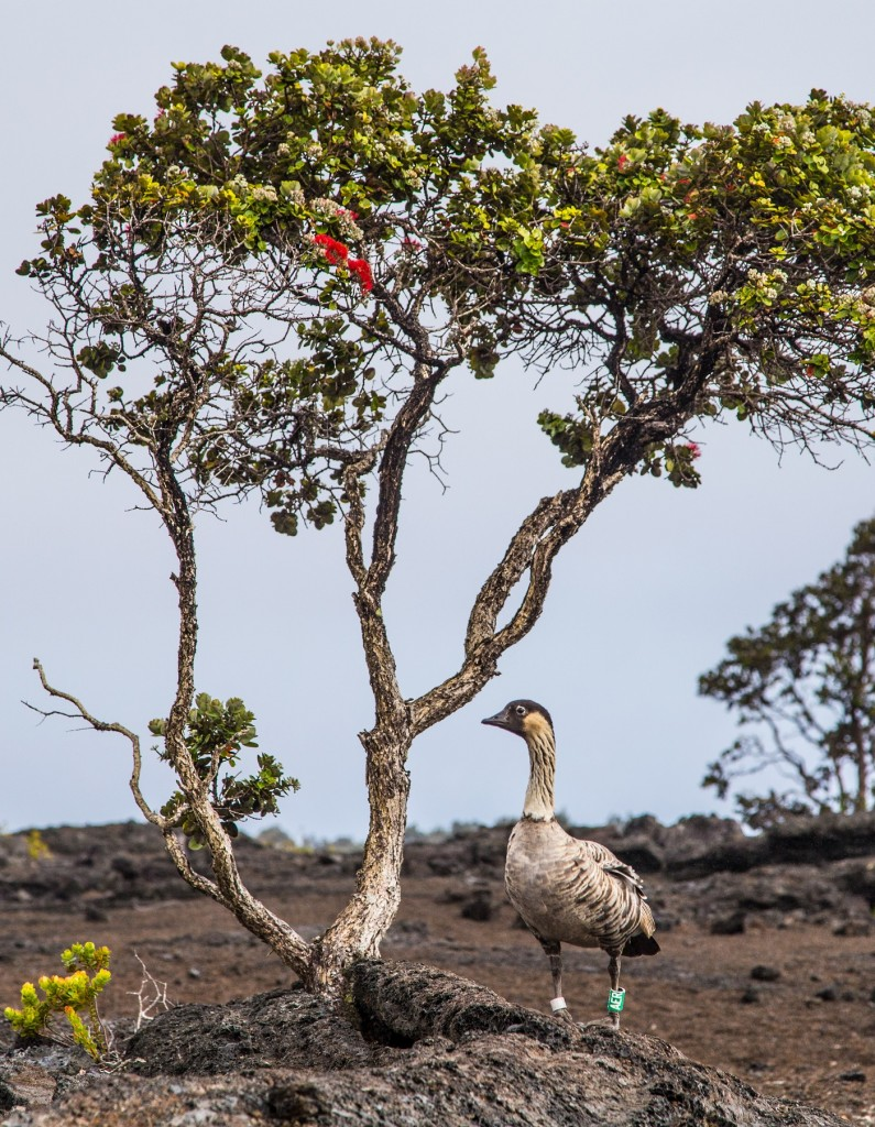 An endangered nēnē near an 'ōhi'a tree at Mauna Ulu. Photo courtesy of Janice Wei.