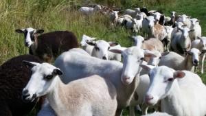 Sheep. Photo credit: Marla Walters.