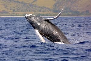 Humpback whale. NOAA file photo.