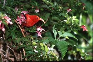 Native Iwi bird. File photo by Jack Jeffrey.