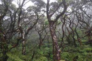 Native forest on Kohala Mountain. Photo credit: Jenny Ersbak.