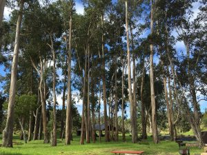 Eucalyptus grove remains intact at the pavilion. NPS courtesy photo.