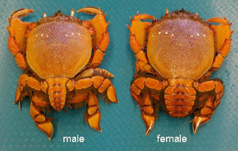 Lobster And Kona Crab Season Closes May 1